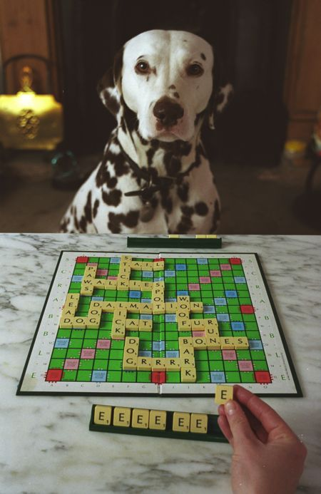 Picture of a dalmation playing scrabble.