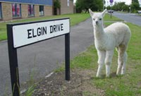 An Elgin Llama named Bruce